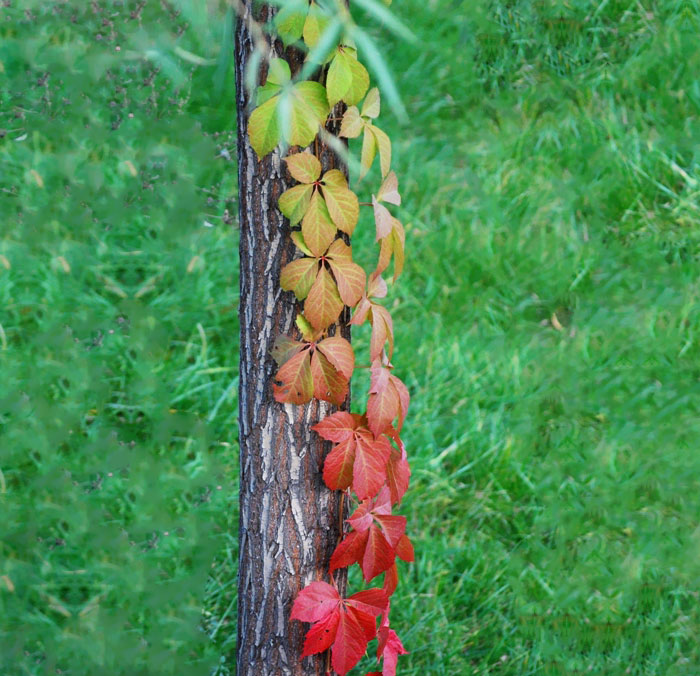 Colorful Vine