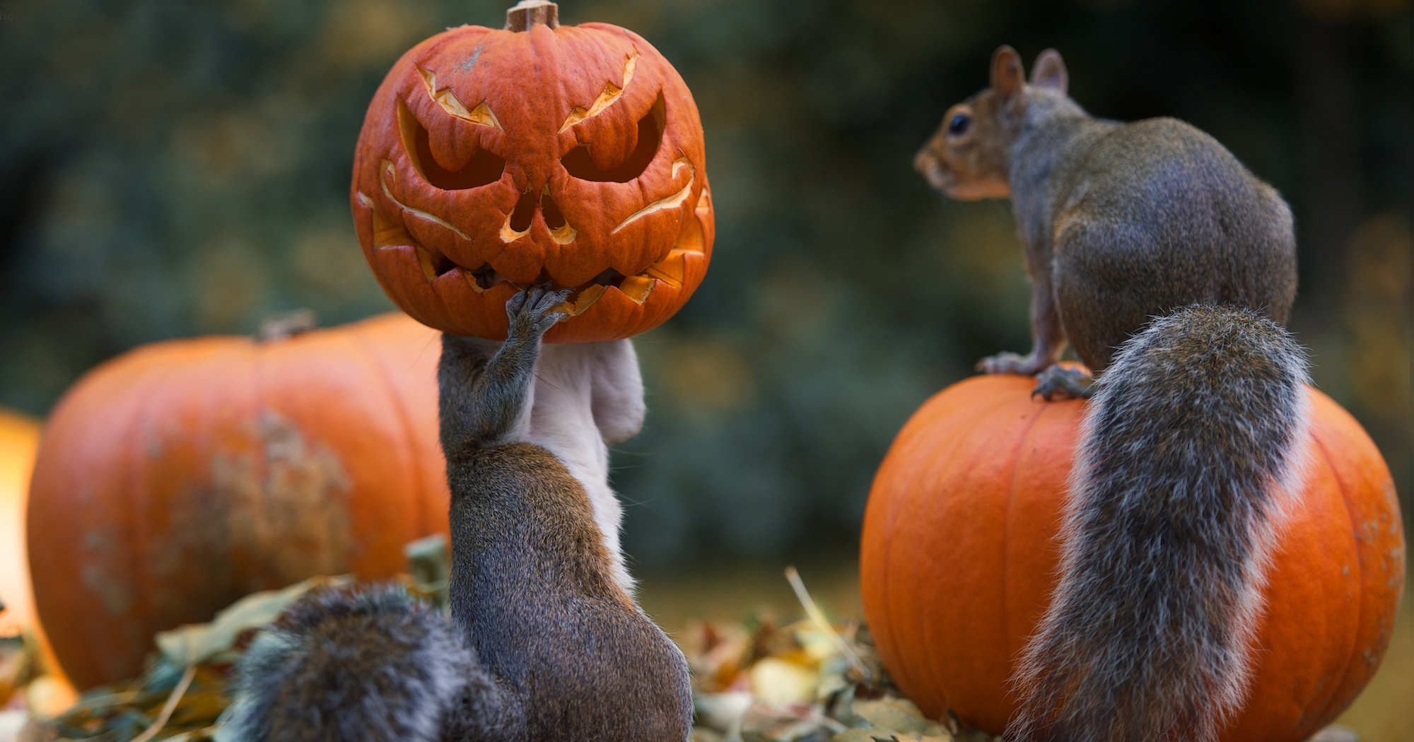 Happy Fall Wallpaper Iphone Squirrel Tries To Steal A Carved Pumpkin From Photographer