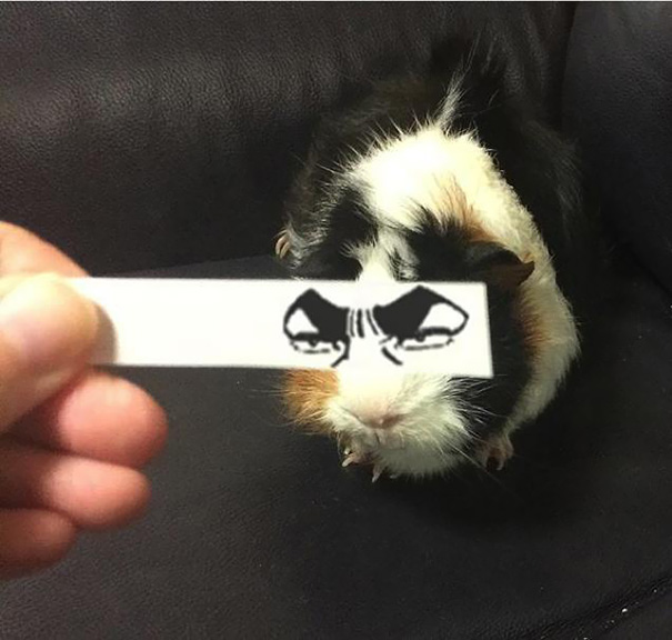 Cartoon Eyes On A Guinea Pig