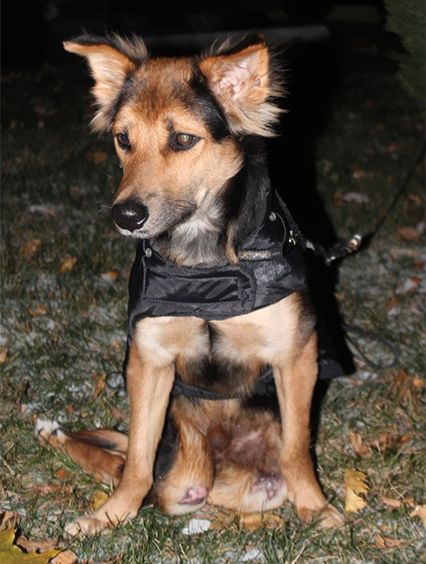 paralyzed-dog-puppy-rescue-thailand-canada-leo-12