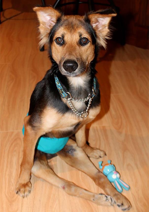 paralyzed-dog-puppy-rescue-thailand-canada-leo-13