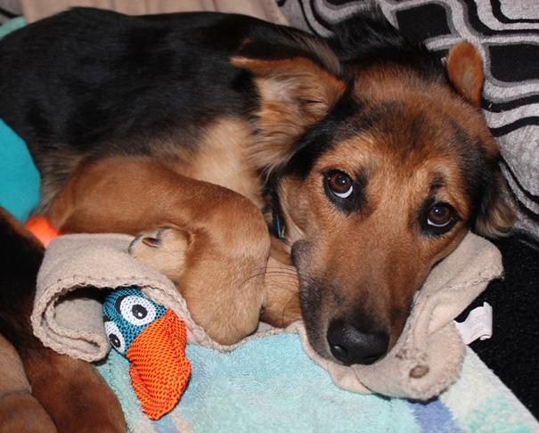 paralyzed-dog-puppy-rescue-thailand-canada-leo-16