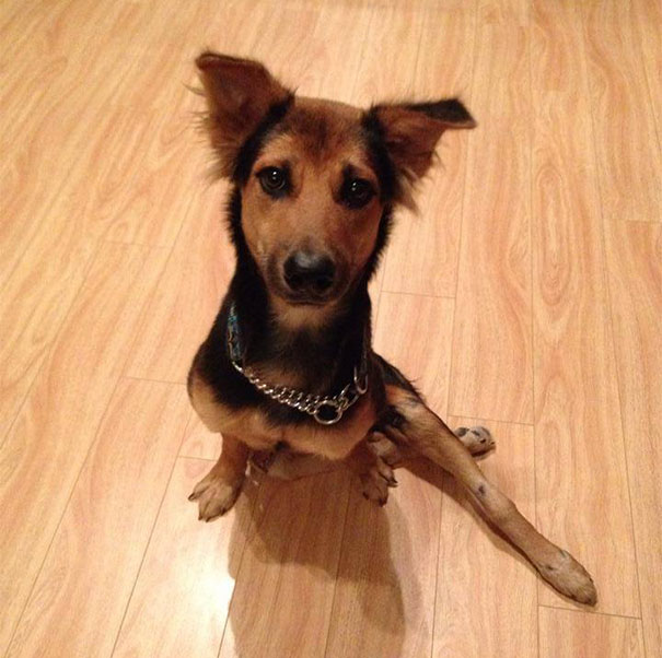 paralyzed-dog-puppy-rescue-thailand-canada-leo-9