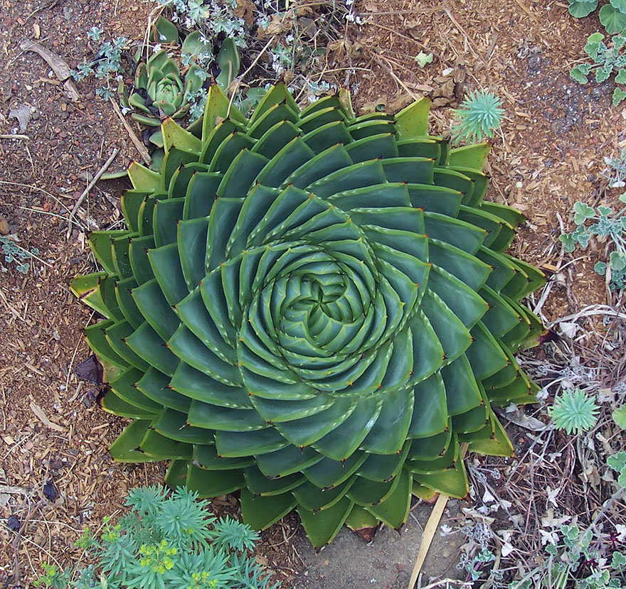 Aloe Polyphylla