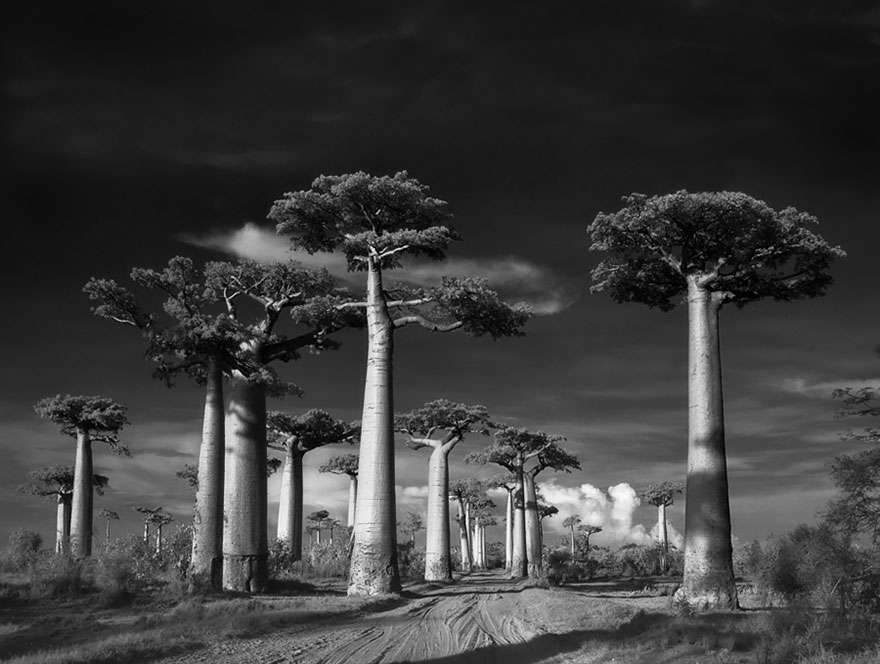 antichi alberi-Bet-moon-1