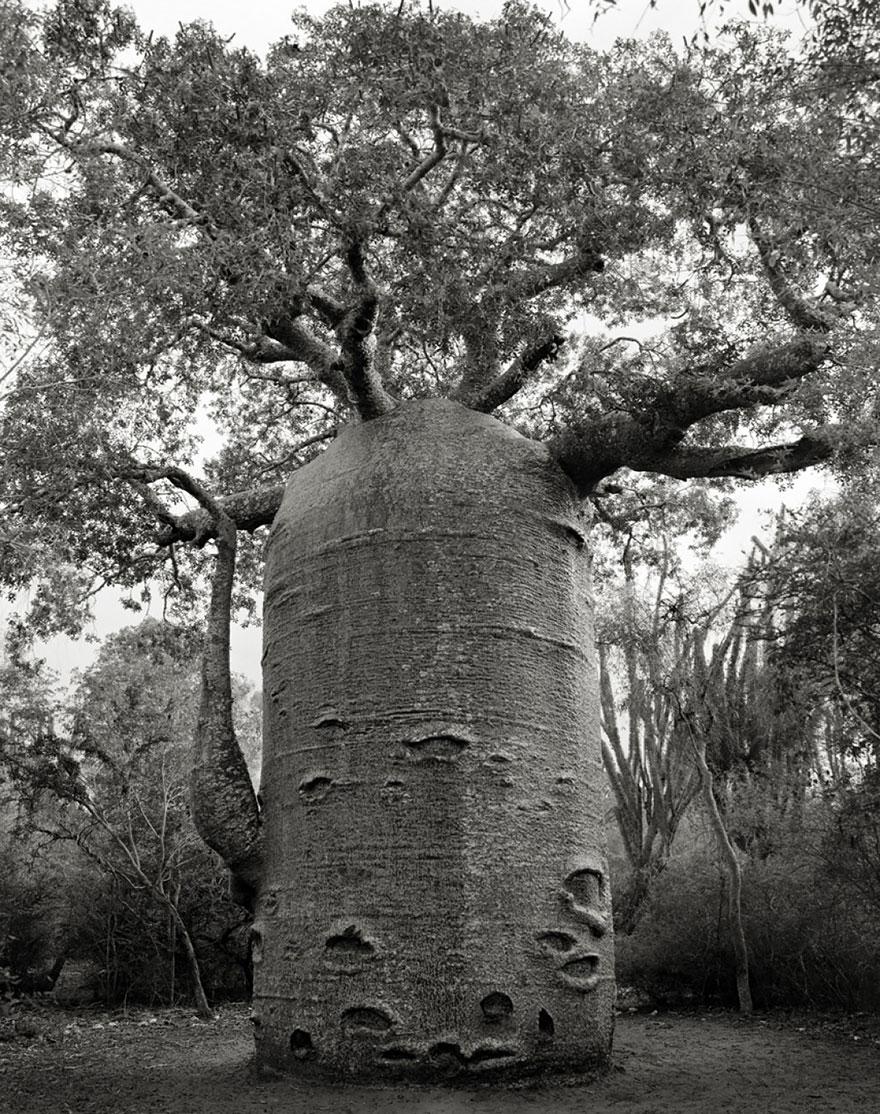 antichi alberi-Bet-moon-11