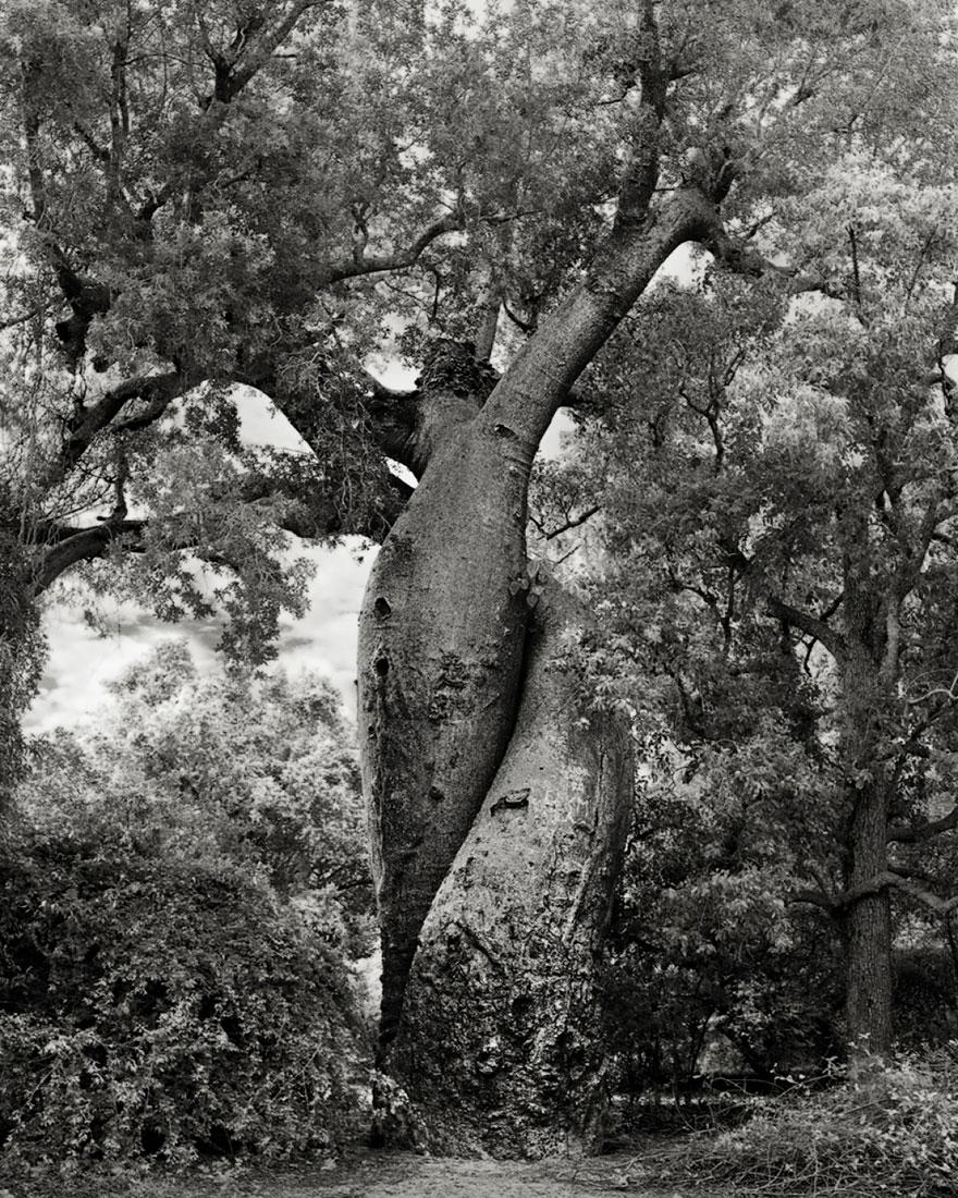 antichi alberi-Bet-moon-20