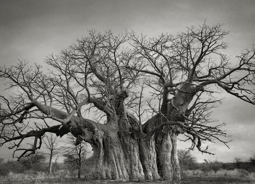 antichi alberi-Bet-moon-3