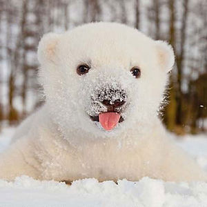 This Baby Polar Bear Saw Snow For The First Time Bored Panda