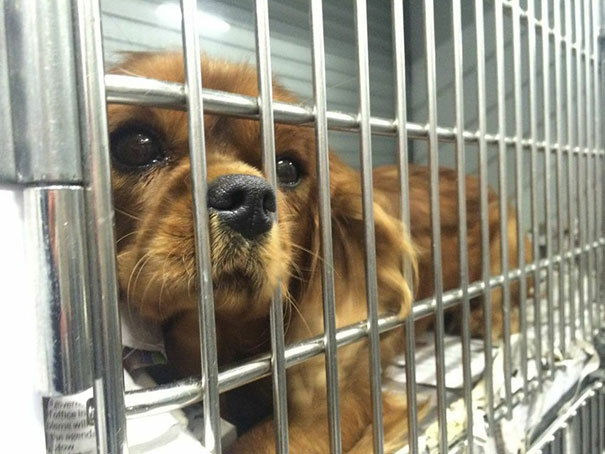 cavalier-king-charles-cocker-spaniel-rescue-puppy-mill-auction-28
