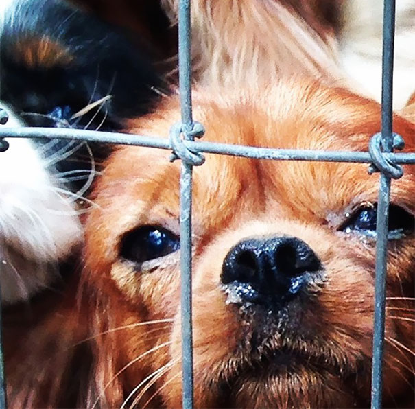 cavalier-king-charles-cocker-spaniel-rescue-puppy-mill-auction-4