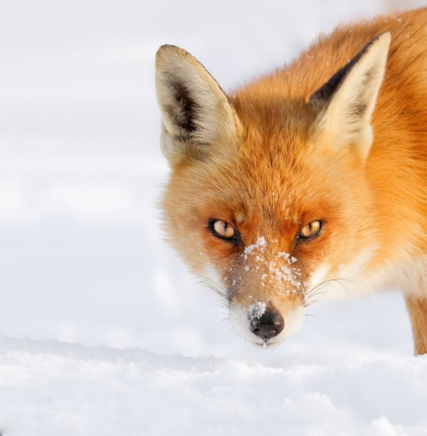 Red Fox in Winter Snow