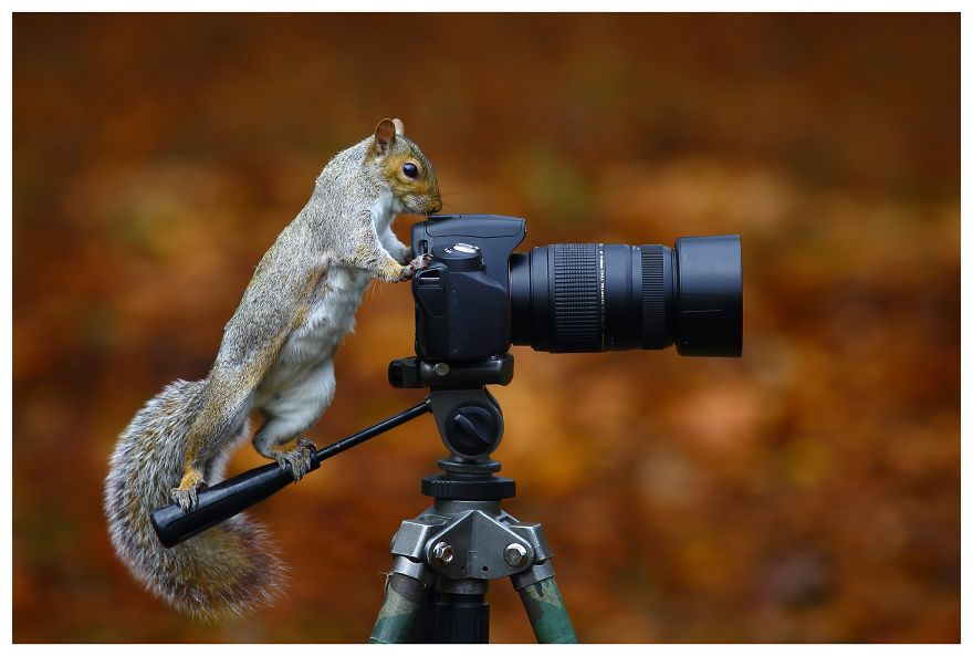 A Wild Grey Squirrel Getting To Grips With An Slr Against A Background Of Fallen Leaves