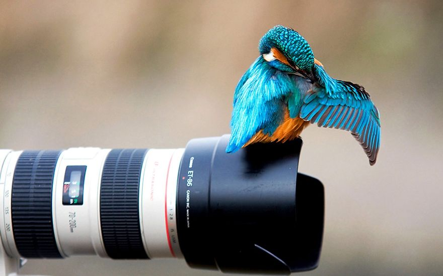 Blue Hummingbird On Camera