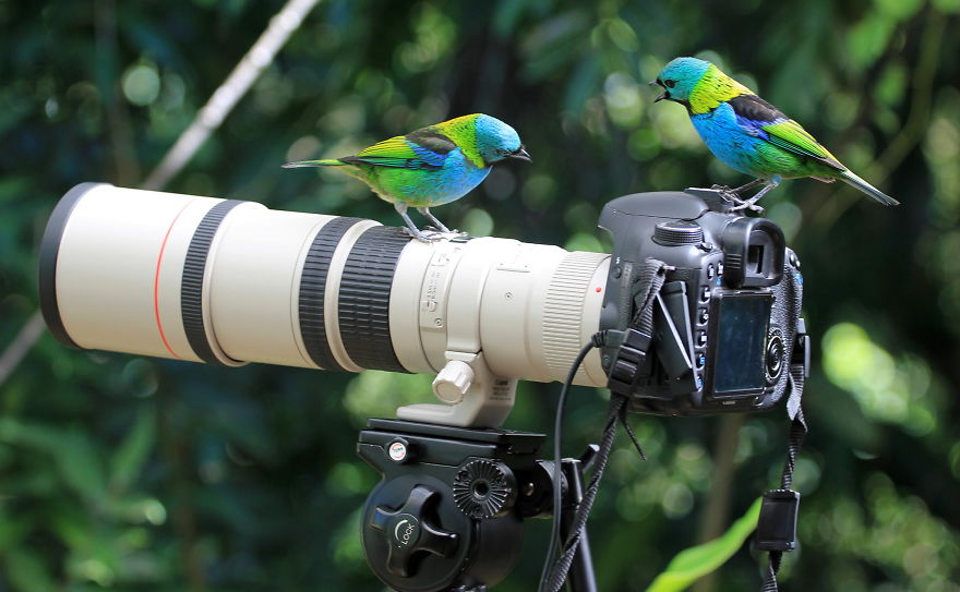 Green Headed Tanagers Discussing About Camera