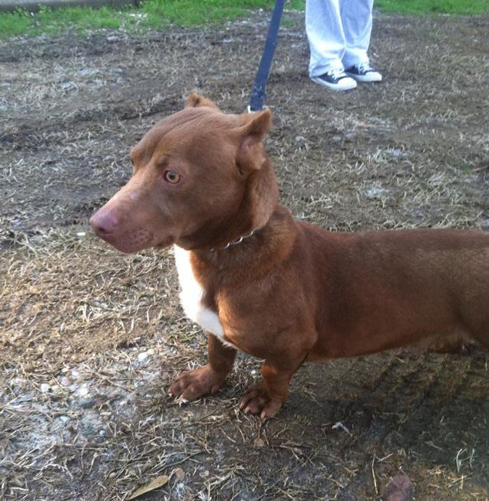 pitbull dachshund mix breed dog rami 3 Pitbull And Weiner Dog Mix