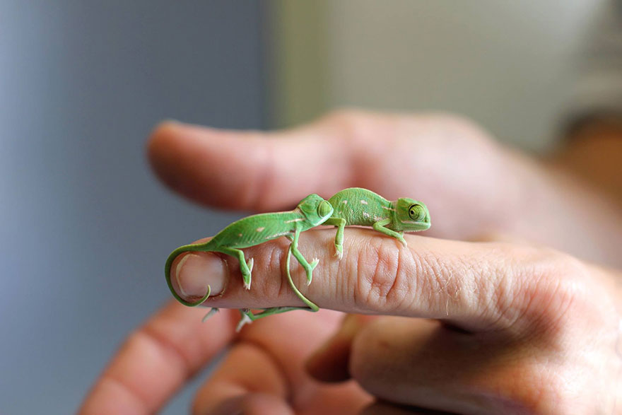 cute-baby-chameleons-hatch-taronga-zoo-sydney-4