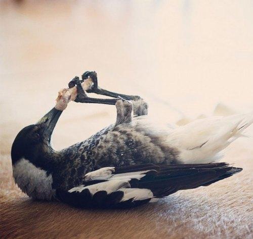 penguin-magpie-rescue-friendship-bloom-family-australia-7