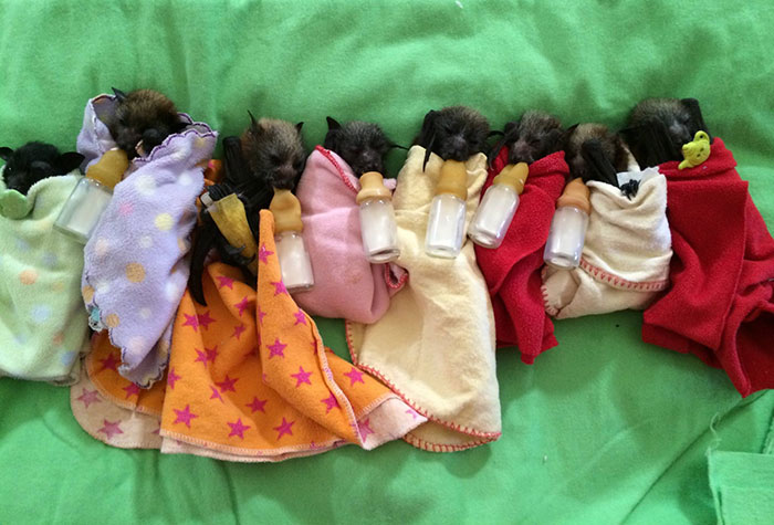 Orphaned Baby Bats At This Australian Bat Hospital Are Too Adorable