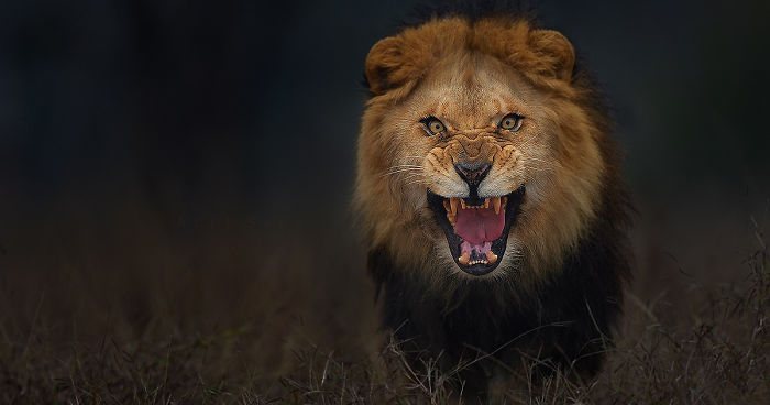 photographer shoots angry lion