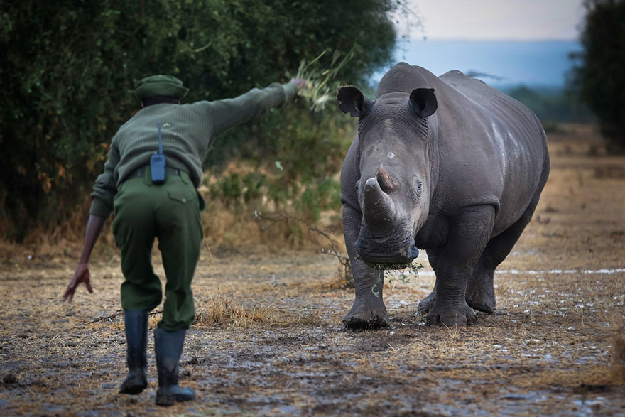 last-northern-white-rhinoceros-conservation-rangers-kenya-6