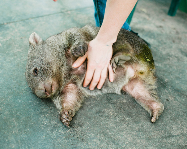 Douglas The Wombat Really Loves Belly Rubs