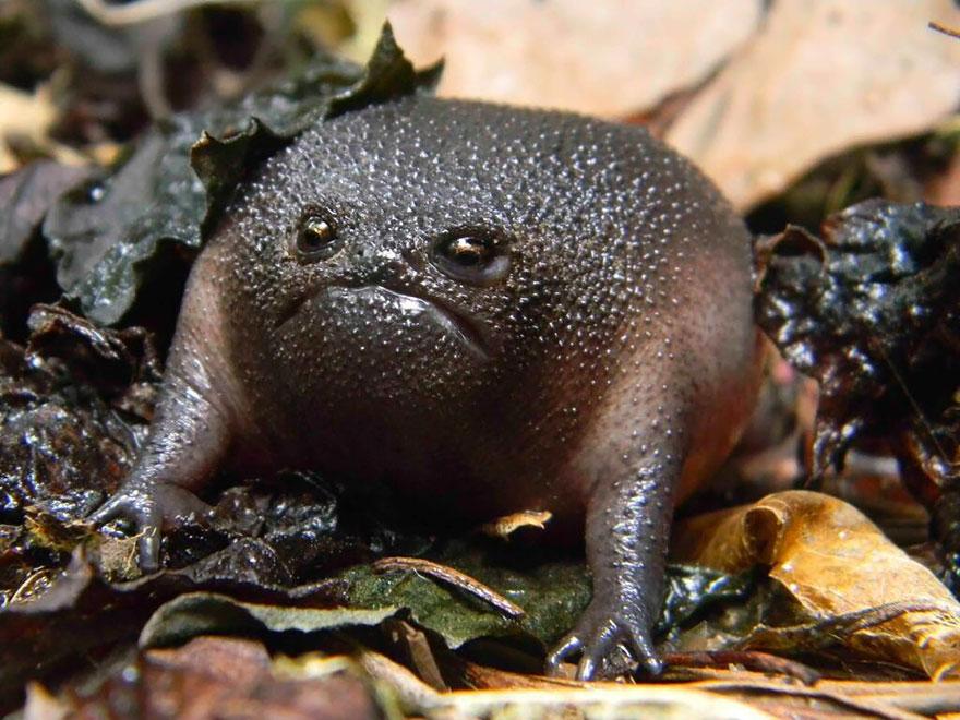 Black Rain Frog