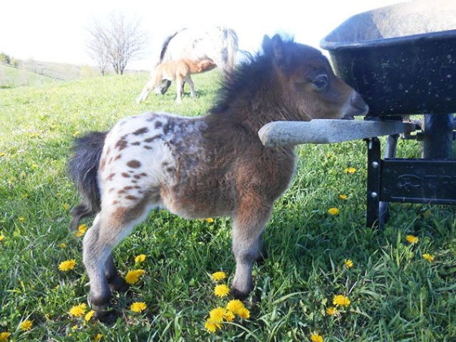 Oh. My. God. It's A Baby, Appaloosa, Mini Horse