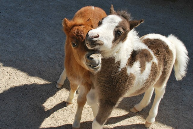 Went To A Mini-horse Farm And Ran Into These Two Foals