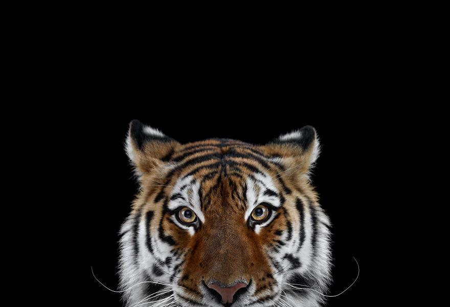 Exotic Animal Wallpaper I Create Studio Portraits Of Exotic Animals Looking