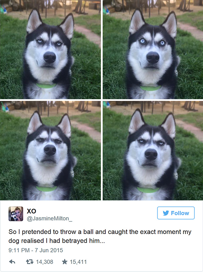 Not Impressed Dog : impressed, Owner, Pretends, Throw, Captures, Exact, Moment, Realizes, Betrayed, Bored, Panda
