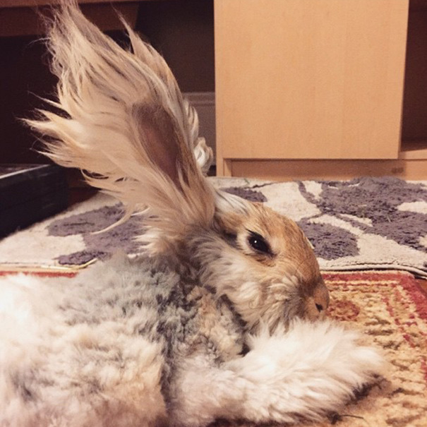 Meet Wally The Bunny With The Biggest Wing Like Ears