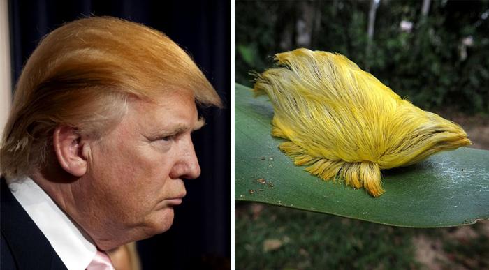 Donald Trump's Hair Looks Like This Caterpillar