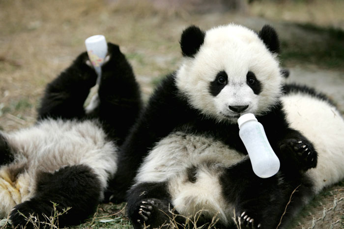 Cute Chinese New Year Wallpaper Panda Daycare Exists And Is Most Adorable Place On Earth