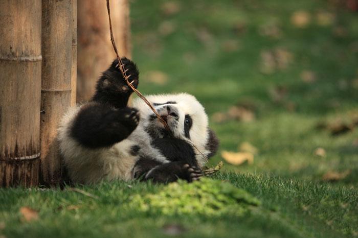 panda-daycare-nursery-chengdu-research-base-breeding-18