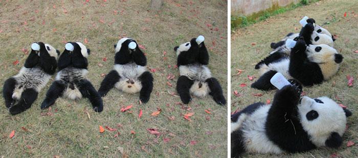 panda-daycare-nursery-chengdu-research-base-breeding-20