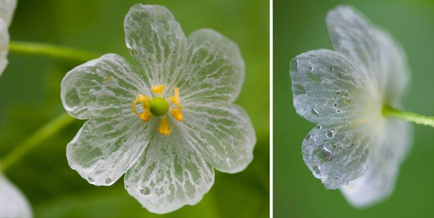 transparent-skeleton-flowers-in-rain-diphylleia-grayi-22