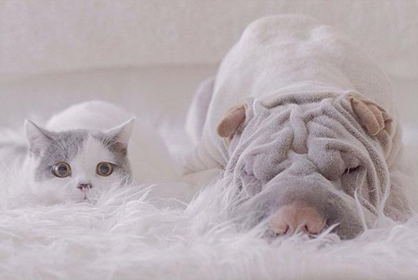 shar-pei-dog-paddington-friend-annie-cat-9