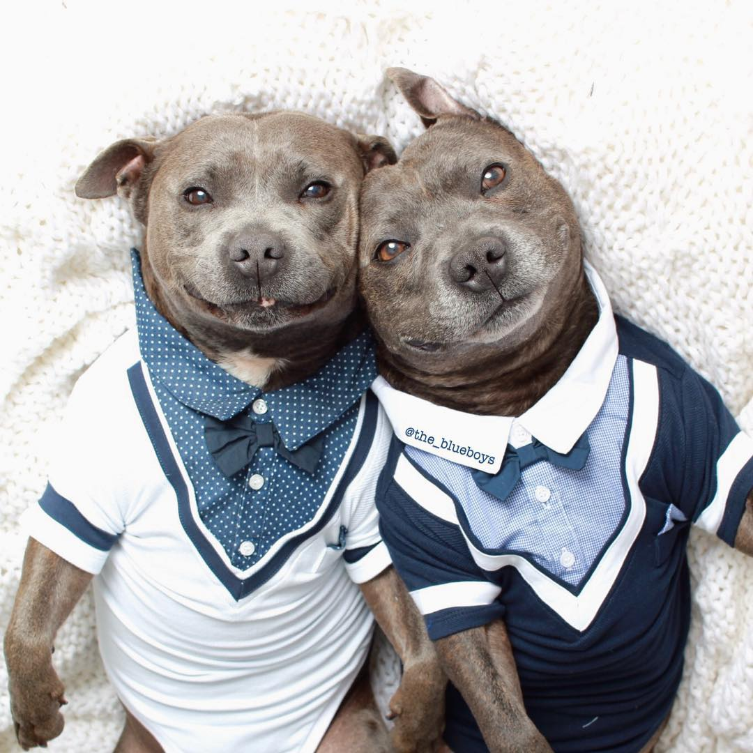 cute dog brothers staffie pit bull terriers blueboys 74 Pitbull Clothes For Dogs