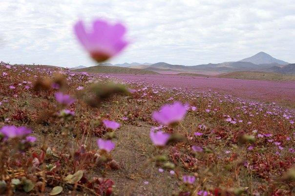 atacama-flowers-floración-mundos-seco-desierto-11