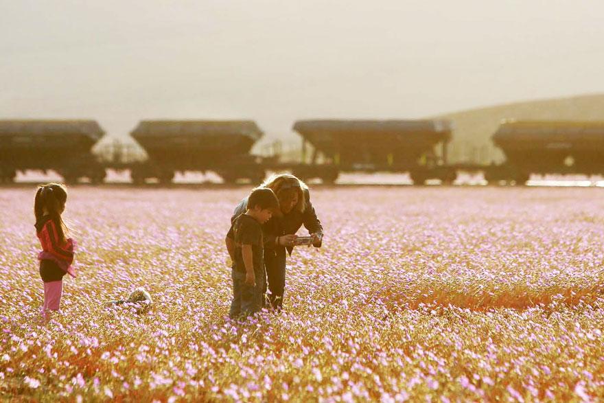 atacama-flowers-bloom-worlds-driest-desert-14