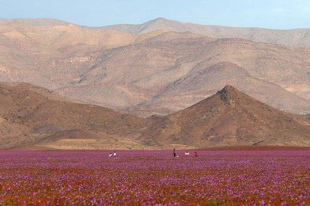 atacama-flowers-floración-mundos-seco-desierto-4