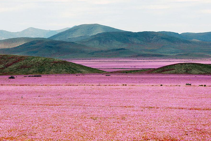 atacama-flowers-bloom-worlds-driest-desert-6