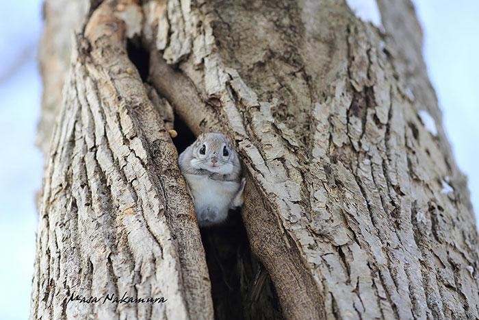 сибирские-японский карлик-летающие белки 15