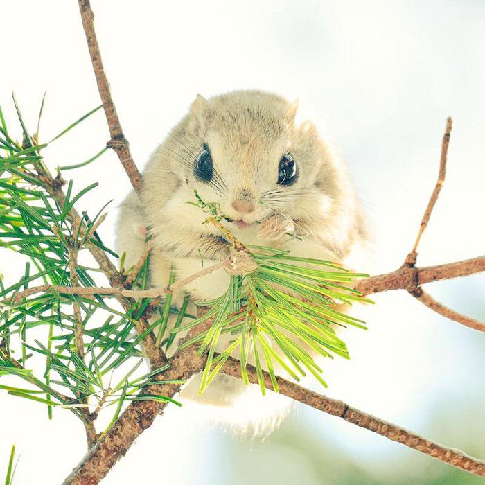 сибирские-японский карлик-летающие белки-