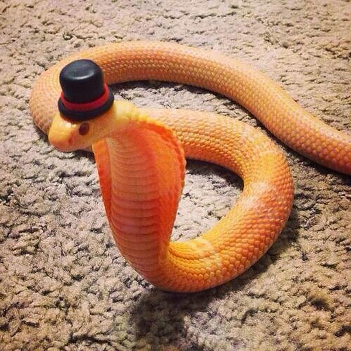 Cobra With A Top Hat