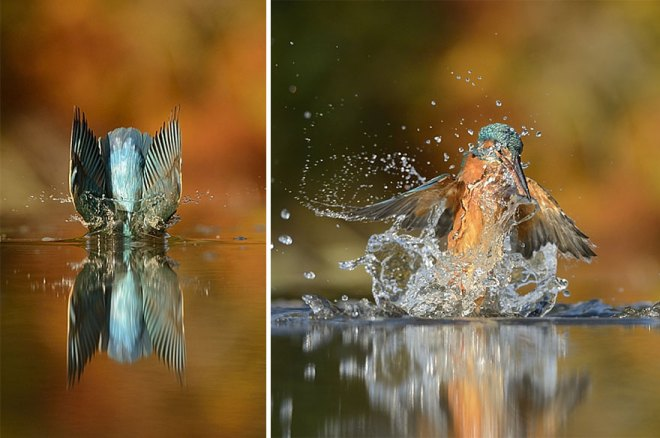 perfect-kingfisher-dive-photo--wildlife-photography-alan-mcfayden-35