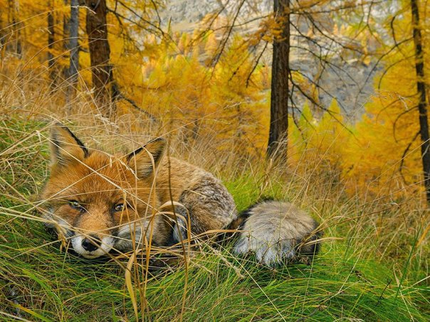 Fox encontrado, el Parque Nacional del Gran Paradiso, Italia