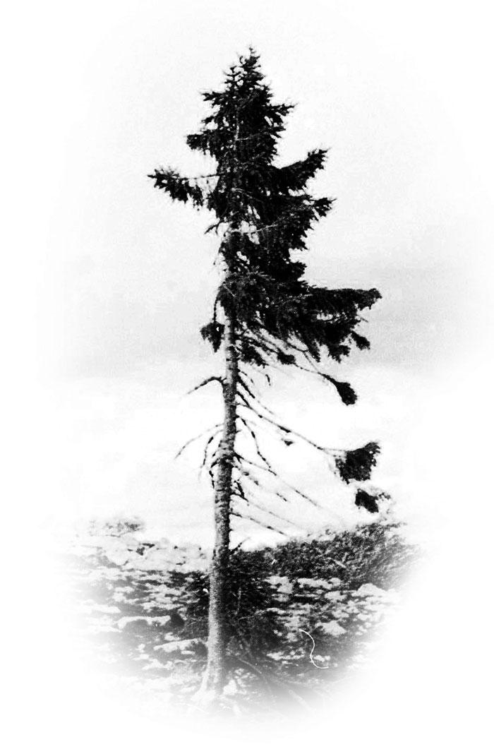 antico-tree-vecchio-tjikko-svezia-25