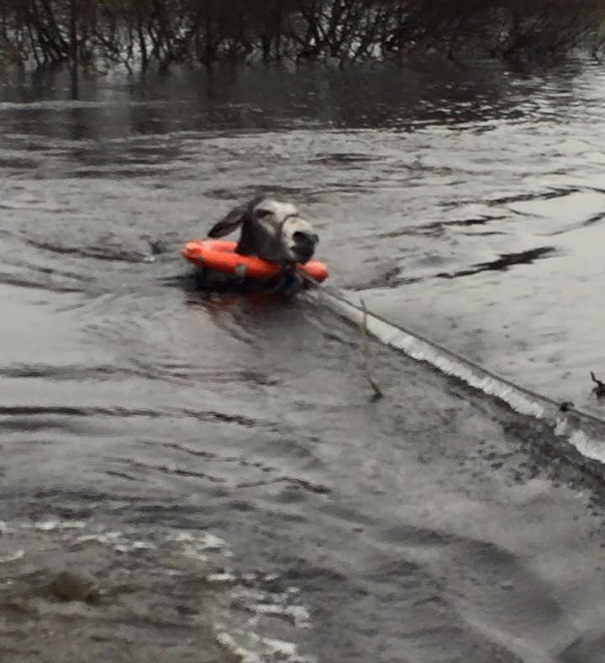 rescued-donkey-smiling-fall-river-flood-mike-ireland-3